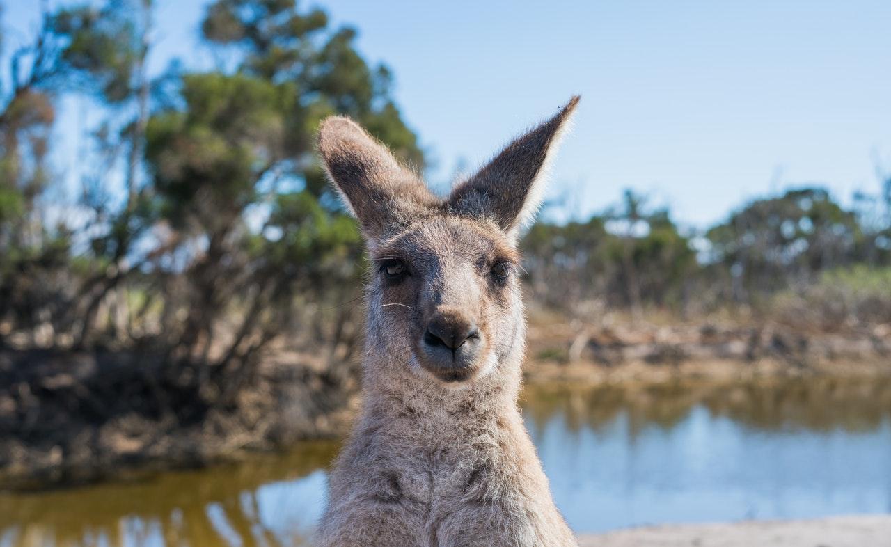 Kangaroo Australia wildlife